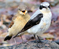 Northern Wheatears (adult male with pleading juvenile)